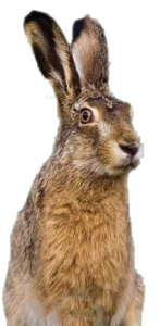 hare png